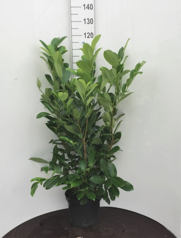 Prunus-laur.-Rotundifolia-10L-100-125cm-scaled