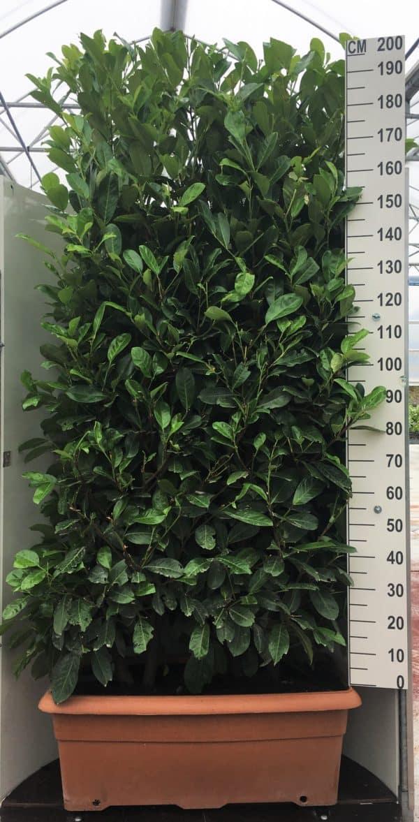 Prunus-laur.-Rotundifolia-110L-trough-scaled