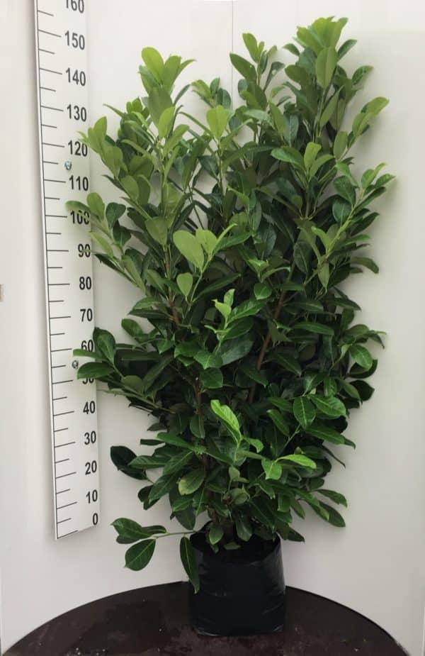 Prunus-laur.-Rotundifolia-20L-poly-bag-scaled.