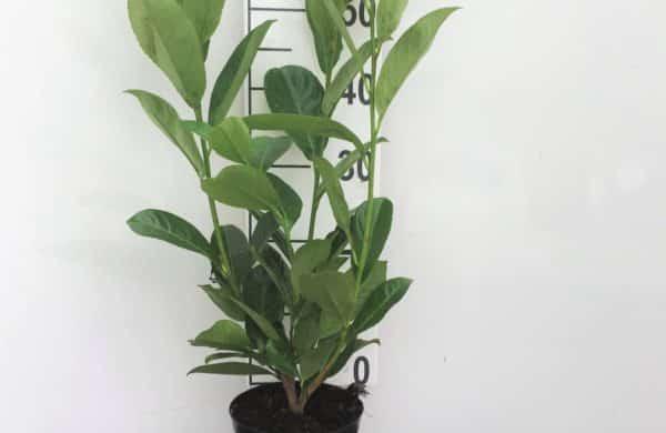 Potted Prunus-laur.-Rotundifolia-2L-scaled