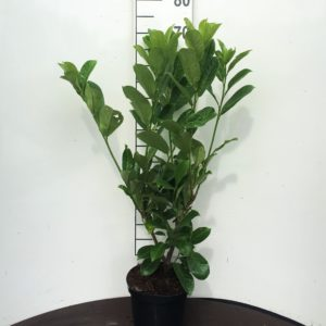 Prunus-laur.-Rotundifolia-3L-scaled