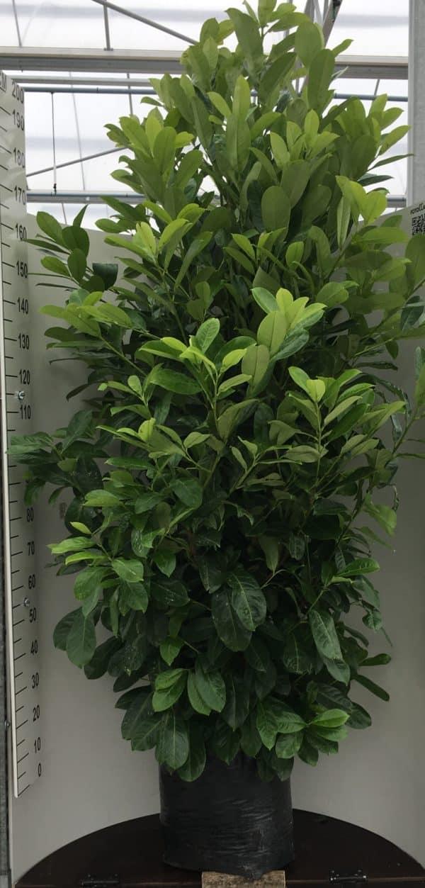 Prunus-laur.-Rotundifolia-40L-polybag-scaled