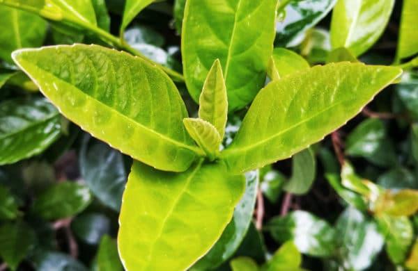 Cherry laurel plant